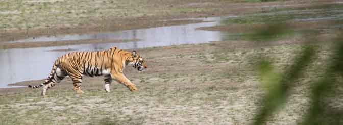 Tiger-Tracking-Chitwan