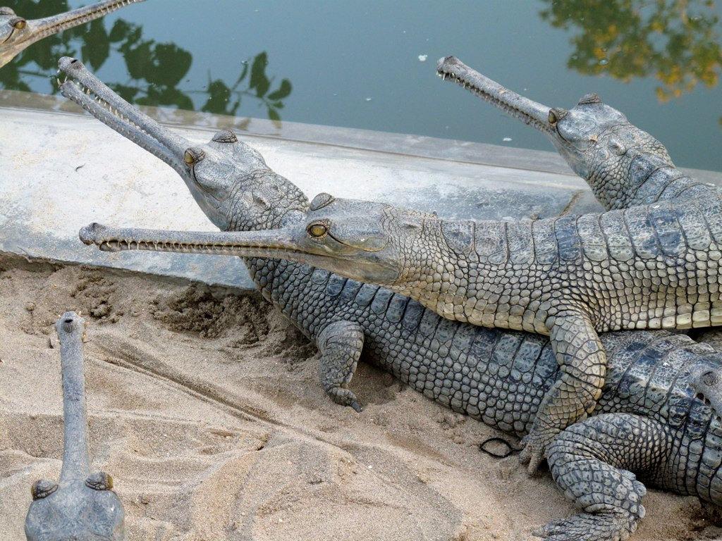Crocodile Breeding Center