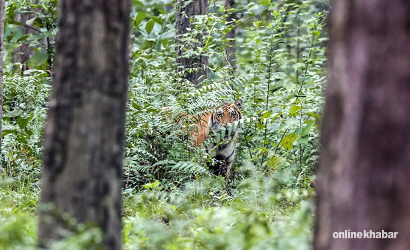 Tiger Tracking in Chitwan National Park, Nepal