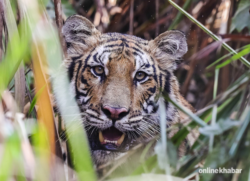 Tiger tracker