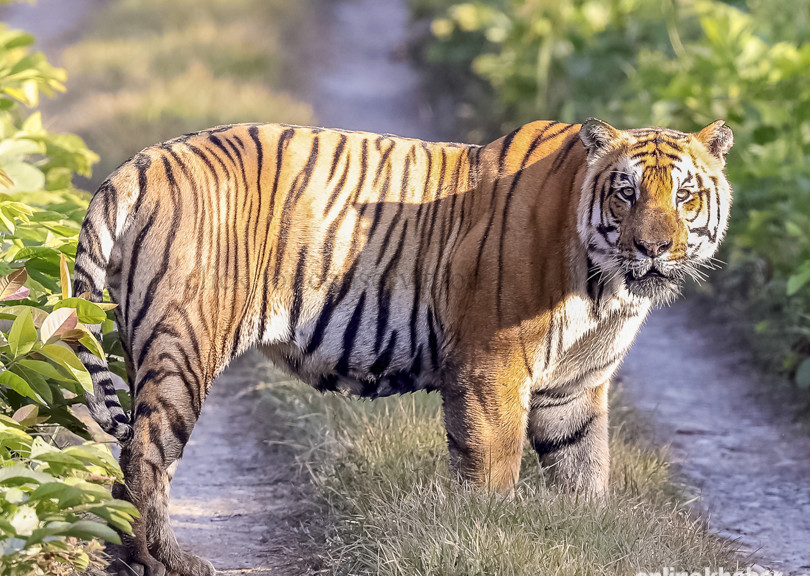 Tiger Tracking in Chitwan National Park