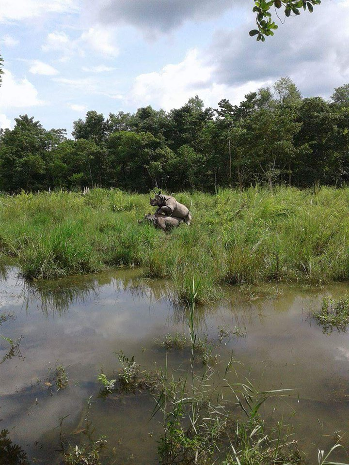 Rhinos Mating in Chitwan National Park